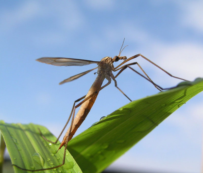 Giant Crane Fly Mosquito Long Legs
