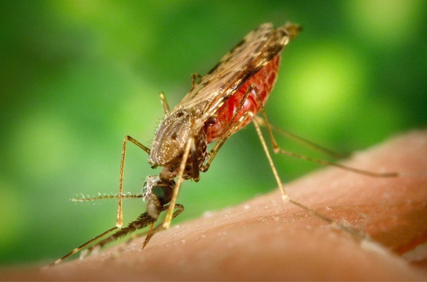 How long does a mosquito live after biting someone