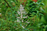 lemon-verbena-flower